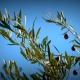 Olives on a tree